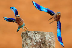 Action fly scene with two birds. Roller from Sri Lanka, Asia. Nice colour light blue bird Indian Roller flight above stone with or Royalty Free Stock Photos