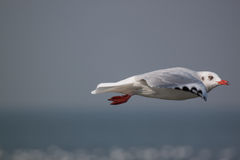 Action of Flying seagull Stock Photos
