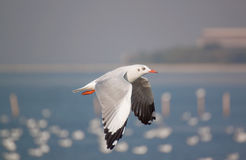 Action of Flying seagull Royalty Free Stock Photo