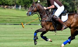 Action of Horse Polo. Player and Ponies in Match Stock Images