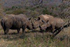 Action inter Cub hommes-femmes de rhinocéros Photographie stock libre de droits