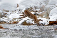 Action monkey wildlife scene from Japan. Monkey Japanese macaque, Macaca fuscata, jumping across winter river, Hokkaido, Japan. Sn. Action monkey wildlife scene Stock Photo
