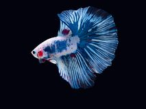 Action and movement of Thai fighting fish on a black background. Activity aggressive animal aquarium aquatic beautiful beauty betta blue closeup color colorful royalty free stock images