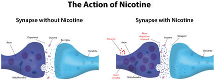 Action of Nicotine vector illustration