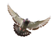 Free Action Of Homing Pigeon Bird Approaching To Landing On Ground Is Royalty Free Stock Photography - 97059617