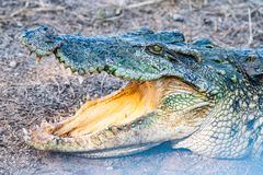 Action Of Siamese Crocodile In Nature Stock Photo