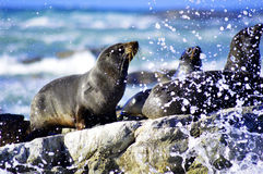 Action on the rocks. Sea lions sun bathing on the rocks photo captured as the wave brake against the rock royalty free stock photos