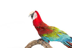 Action of scarlet macaw birds on branch of tree Stock Images