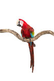 Action of scarlet macaw birds on branch of tree Stock Photography