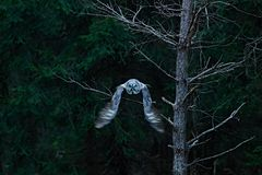 Action scene from the forest with owl. Flying Great Grey Owl, Strix nebulosa, above green spruce tree with orange dark forest back. Action scene from the forest royalty free stock image
