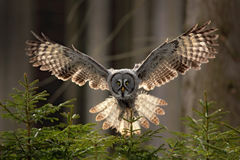 Action scene from the forest with owl. Flying Great Grey Owl, Strix nebulosa, above green spruce tree with orange dark forest back. Action scene from the forest royalty free stock photo