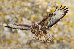 Action scene from nature. Bird of prey Common Buzzard, Buteo buteo, in fly with snow. Snowy day with bird during autumn with yello Royalty Free Stock Images