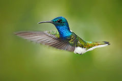 Action scene from nature, hummingbird in fly. Hummingbird in the forest. Flying blue and white hummingbird White-necked Jacobin. H Royalty Free Stock Photography
