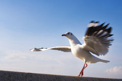 Action Seagull Dance Ballet. at thailand. Action Seagull Dance Ballet. at thailand Stock Images