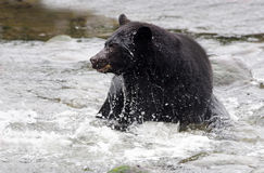 Action shot of Black Bear in river,Vancouver Island, Canada Royalty Free Stock Photo