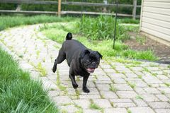 Black pug on the prowl for treats. Action shot of a black pug on the prowl for treats Royalty Free Stock Image