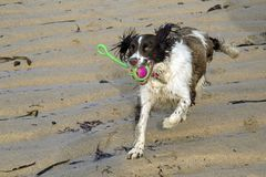 An action shot of a Springer Spaniel dog playing on a sandy beach Royalty Free Stock Image