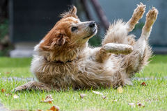 Action shot of a furry dog playing in a field Stock Photo