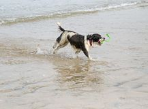 An action shot of a Springer Spaniel dog playing on a sandy beach stock images