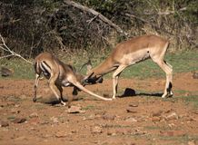 Action shot of two impala males fighting, dust is spaying royalty free stock photography