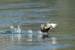 A wild duck slips from the surface of the river. Action snapshot of wild duck slips from surface of the river Royalty Free Stock Photo