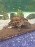 Sleepy turtle in muddy water. royalty free stock images