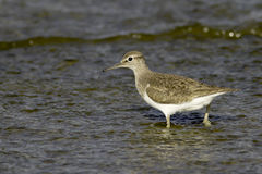Actitis hypoleucos / common sandpiper in natural habitat Stock Photos