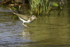 Actitis hypoleucos / common sandpiper in natural habitat Royalty Free Stock Photography