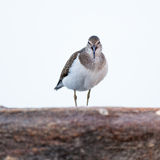 Actitis hypoleucos, Common Sandpiper. Royalty Free Stock Images