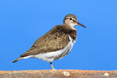 Actitis hypoleucos, Common Sandpiper. Stock Images