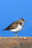 Actitis hypoleucos, Common Sandpiper. Royalty Free Stock Photo