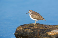 Actitis hypoleucos, Common Sandpiper. Stock Photography