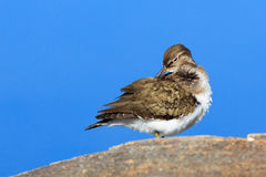 Actitis hypoleucos, Common Sandpiper. Royalty Free Stock Photography