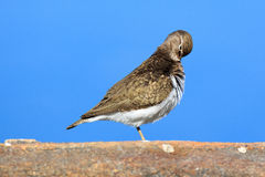 Actitis hypoleucos, Common Sandpiper. Royalty Free Stock Image