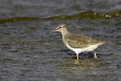 Actitis hypoleucos/Flussuferläufer im natürlichen Lebensraum Stockfotos