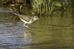 Actitis hypoleucos/Flussuferläufer im natürlichen Lebensraum Lizenzfreie Stockfotografie
