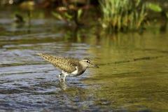 Actitis hypoleucos/Flussuferläufer im natürlichen Lebensraum Stockbilder