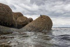 Actitishypoleucos die op de stenen van de Atlantische Oceaan lopen stock foto's