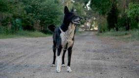 Actitud blanco y negro una del perro de la tolerancia el camino en la cámara lenta con el bokeh almacen de metraje de vídeo