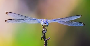 Actitud de la libélula en vuelo imagenes de archivo