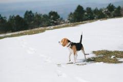 Actitud del beagle Imágenes de archivo libres de regalías