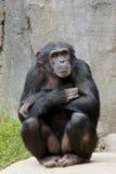 Actitud del chimpancé Imagen de archivo libre de regalías