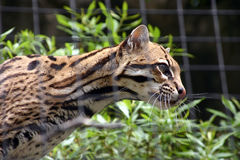Actitud del leopardo imagenes de archivo