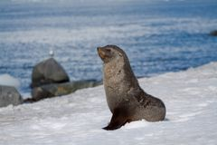 Actitud del lobo marino Imagen de archivo libre de regalías