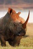 Actitud del rinoceronte Imágenes de archivo libres de regalías