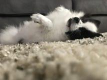 Actitud extraña miniatura de Pomeranian fotografía de archivo