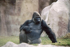 Actitud frontal del gorila Imagen de archivo libre de regalías