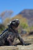 Actitud marina de la iguana Fotos de archivo libres de regalías