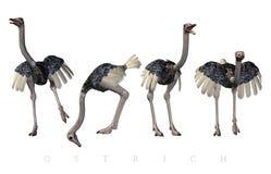 Actitudes de la avestruz Fotografía de archivo