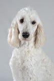 Actitudes de oro del perro del Doodle en fondo gris Fotografía de archivo libre de regalías
